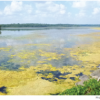 Floating Plant Islands Offer Phosphorus Reduction & Food