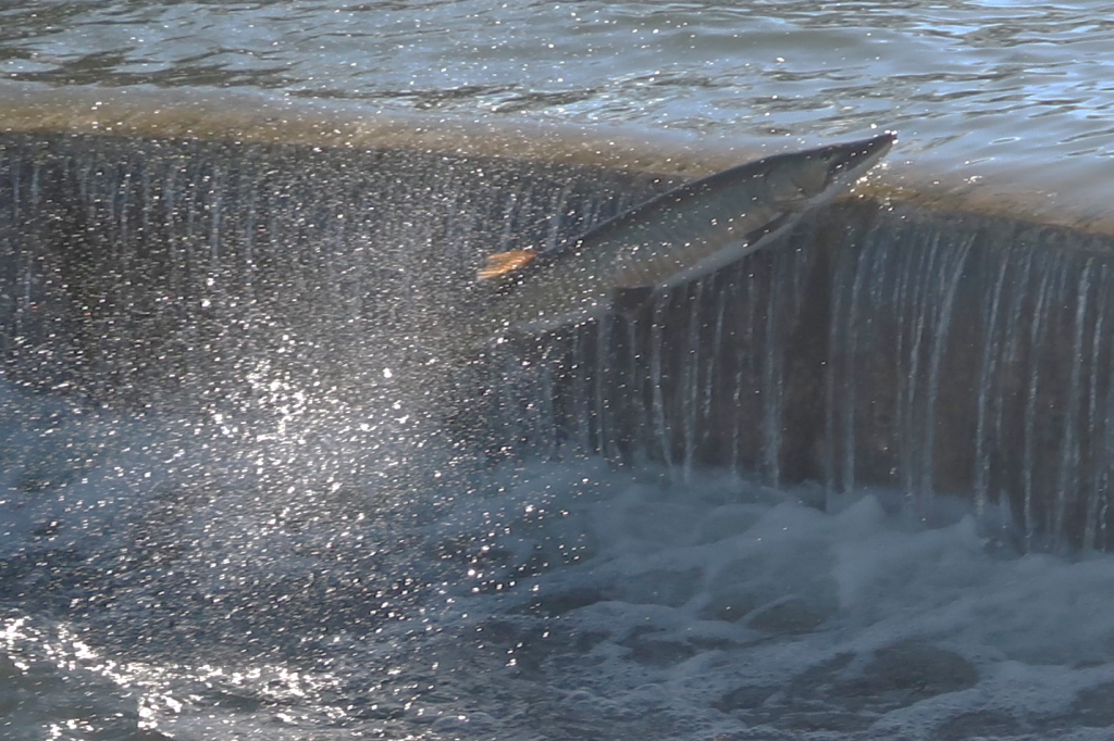 Figure 1.  A Muskie almost makes the top of the dam.